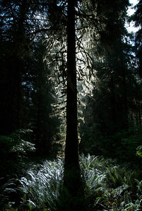 Silhouette of tree in Olympic National Park, Washington