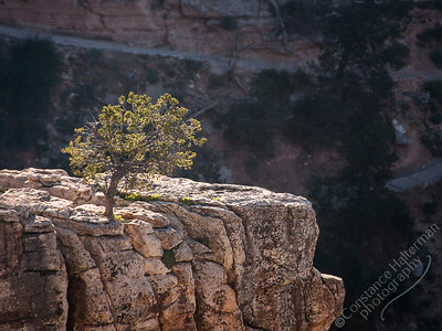 South Rim, Grand Canyon, Arizona - tree