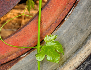 High Desert - grape leaf