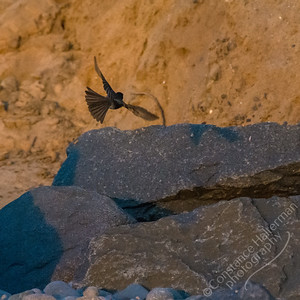 South Carlsbad State Beach - flycatcher