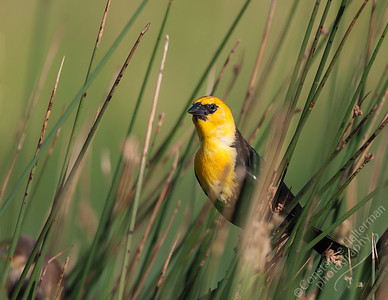 Monte Vista National Wildlife Refuge, San Luis Valley - Yellow-headed Blackbird
