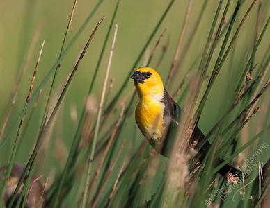 Monte Vista National Wildlife Refuge, San Luis Valley - Yellow-headed Blackbird