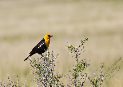 Alamosa National Wildlife Refuge, San Luis Valley - Yellow-headed Blackbird