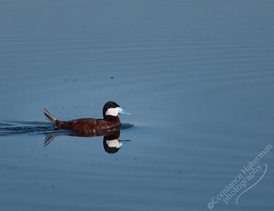 Monte Vista National Wildlife Refuge, San Luis Valley - Ruddy Duck