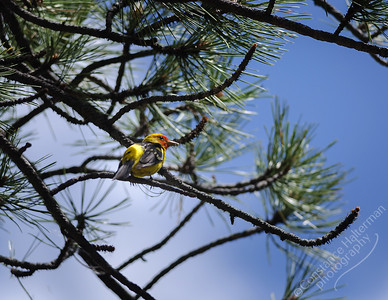 Elk Creek Canyon - Western Tanager