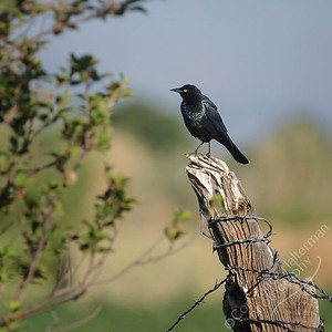 San Luis Valley - Brewer's Blackbird