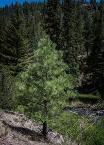 Lower La Jara Creek - evergreen