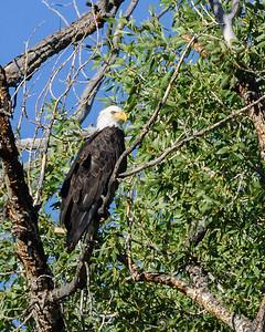 Conejos Canyon - Bald Eagle