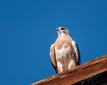 Monte Vista National Wildlife Refuge, San Luis Valley - Swainson's Hawk