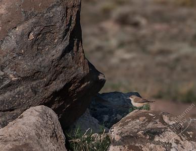 Southern Colorado - Rock Wren