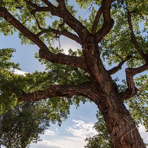 Taos - tree