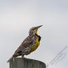 Custer State Park - meadowlark