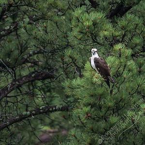 Black Hills - osprey