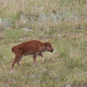 Custer State Park - bison calf
