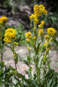 Cedar Breaks National Monument - Rocky Mountain Goldenrod
