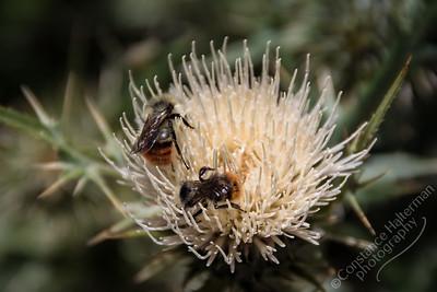Cedar Breaks National Monument - bees