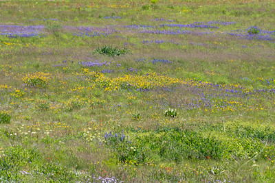 Cedar Breaks National Monument - wildflowers