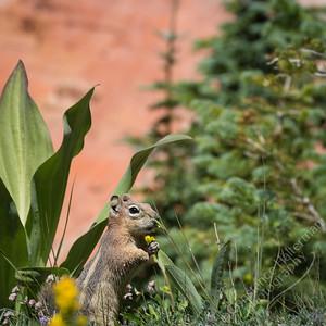 Cedar Breaks National Monument - Golden-mantled Ground Squirrel
