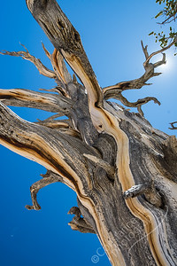 Cedar Breaks National Monument - Bristlecone Pine
