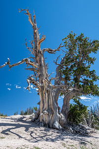 Cedar Breaks National Monument - Bristlecone Pine