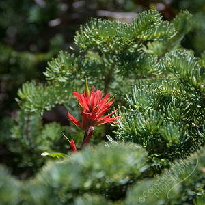 Cedar Breaks National Monument - Scarlet Paintbrush