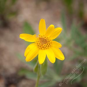 Bighorn Mountains - wildflower