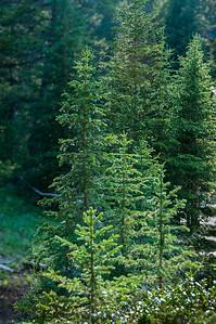 Bighorn Mountains - evergreens