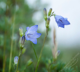 Bighorn Mountains - Harebell