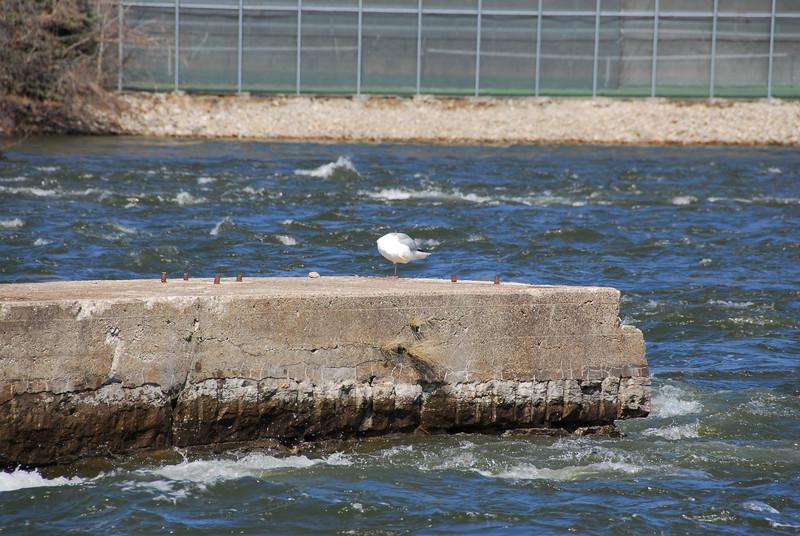 Dove in Fox River, Appleton, Wisconsin