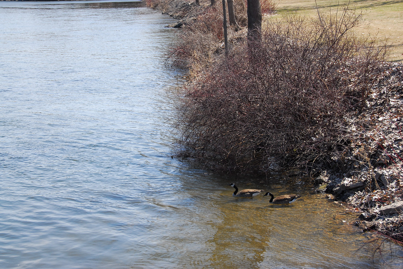 Two geese near the bank of Fox River in Appleton, Wisconsin