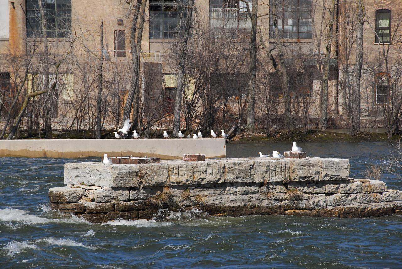 Doves in Fox River, Appleton, Wisconsin