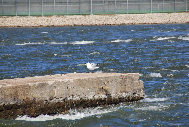 Dove flying over Fox River in Appleton, Wisconsin
