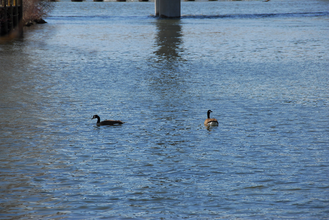 Geese swimming in Fox River, Appleton, Wisconsin