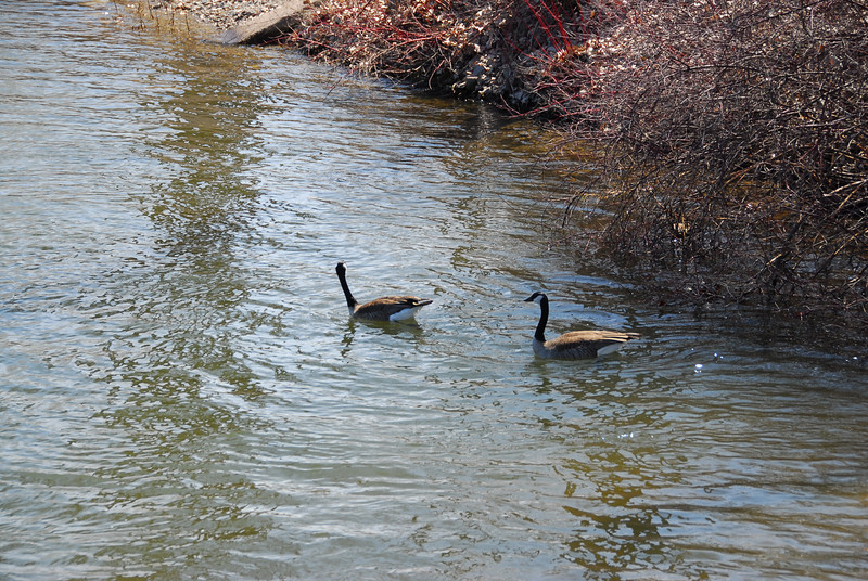 Geese swimming at Fox River in Appleton, Wisconsin