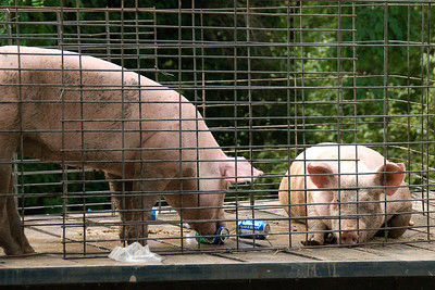 Pigs in a pen during Stephensville Parade, Wisconsin