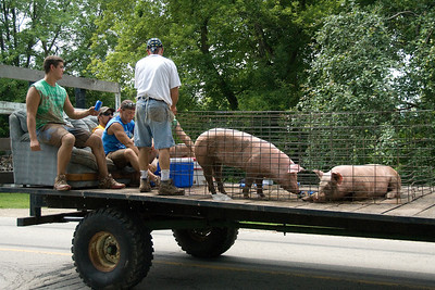 Pigs carried on back of truck during Stephensville Parade, Wisconsin