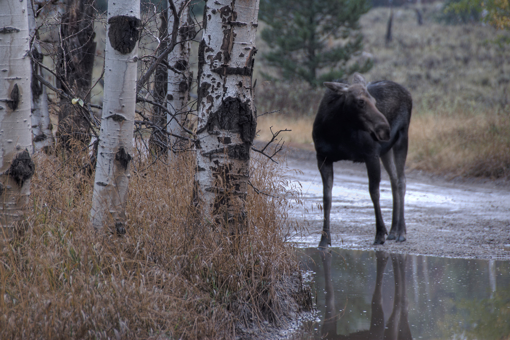 Moose in the road in Grand Teton National Park, Wyoming