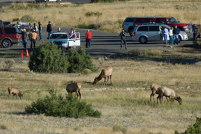 Wildlife in Yellowstone National Park, Wyoming