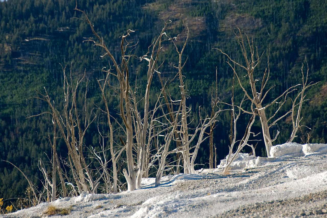 Dried branches at Yellowstone National Park, Wyoming