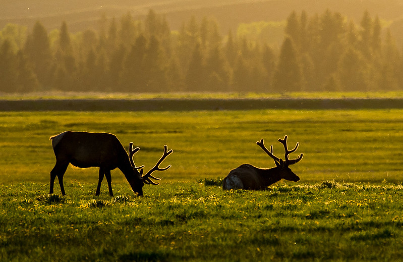 Backlit Elk Antlers