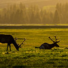 Two elk (cervus canadensis), called red deer in Europe, are silhouetted as the sun sets at Grand Teton National Park