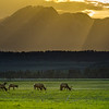 American elk (cervus canadensis) graze in a meadow in Grand Teton National Park as the sun sets
