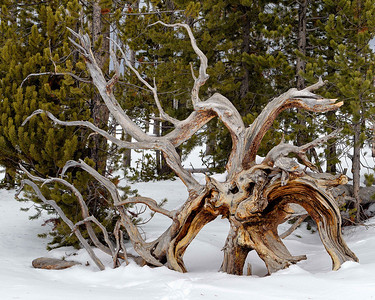Twisted tree roots aging slowly