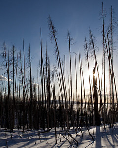 These ghost trees along yelloswtone lake were the result of fire
