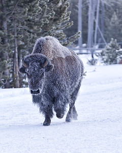 Snow covered and icy the bison nonetheless are sure they rule the land