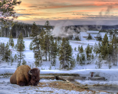 Buffalo keeping warm by the geothermal stream on a wintery morning