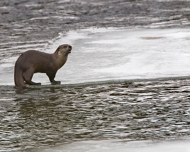 But the river otters are sure they rule the water