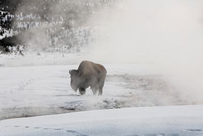 Bison enjoying a steam bath from a hot spring