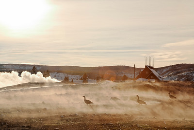 geese enjoying steam heat from the ground at old faithful basin