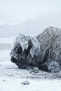 Can you believe how cold it is.  Frosty the bison!!
